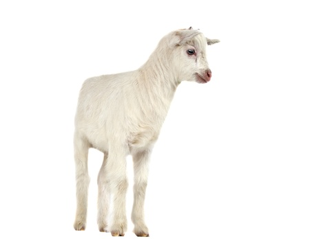caprine: little goat isolated on white background