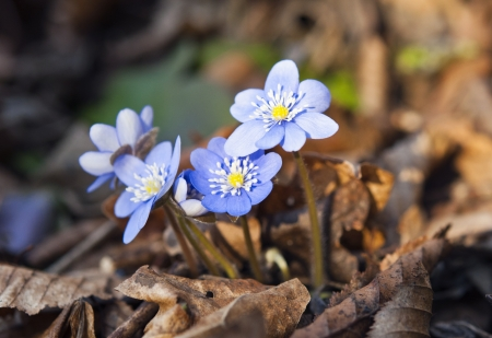 hepatica: first spring blue flowers in the woods Stock Photo