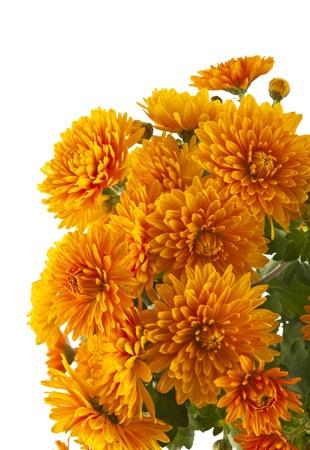 白い背景で隔離されたオレンジ色の菊 写真素材