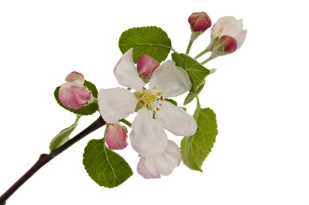 apple blossom: apple tree spring blossoms isolated on white background.  Stock Photo