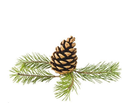 pine fruit: Sprig of pine cone isolated on white background