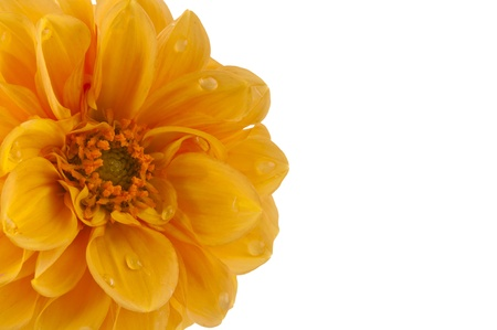 dahlia with water drops isolated on white background photo