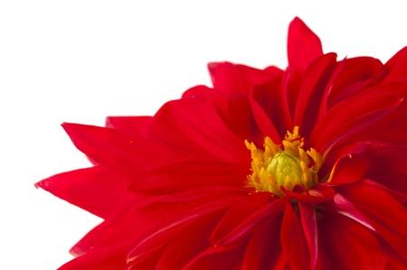 red dahlia isolated on white background photo