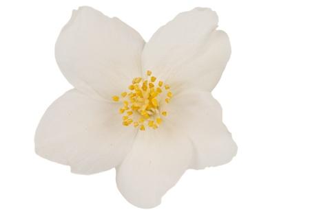 jasmine flower: jasmine isolated on white background