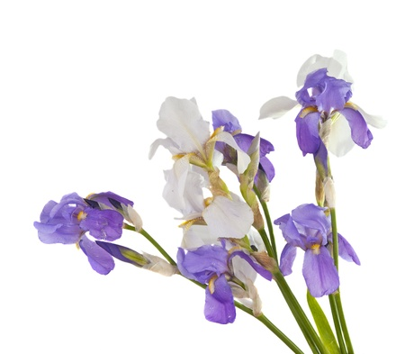 iris bouquet of flowers isolated on white background Stock Photo - 16004193