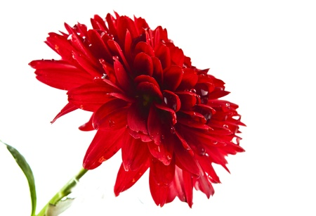 red chrysanthemum with drops isolated on white background photo