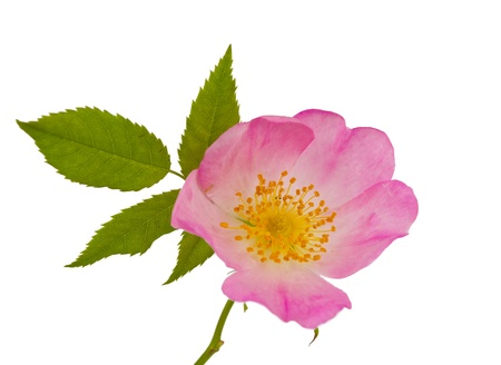 rosa selvatica fiori isolati su sfondo bianco Archivio Fotografico