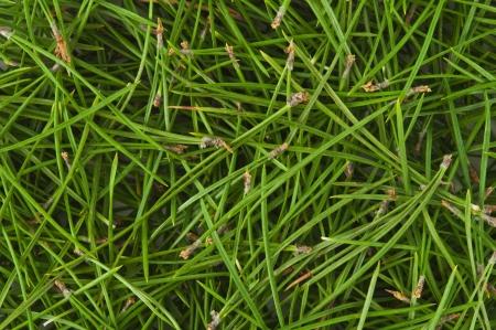 Hintergrund der grünen Kiefernnadeln