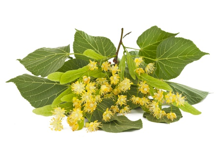 Linden branch with flowers isolated on white background Stock Photo