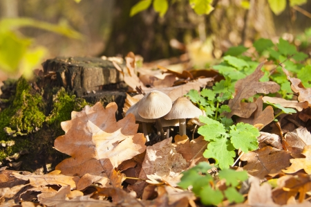 fungi woodland: Mushrooms are growing on a stump in the forest