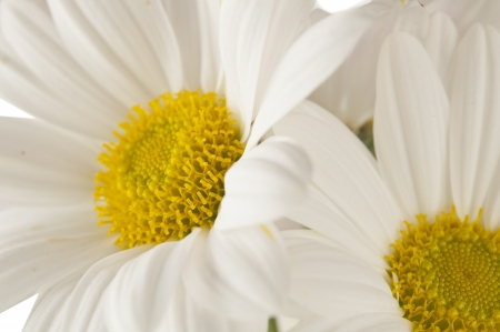 beautiful daisies flowers, close up photo
