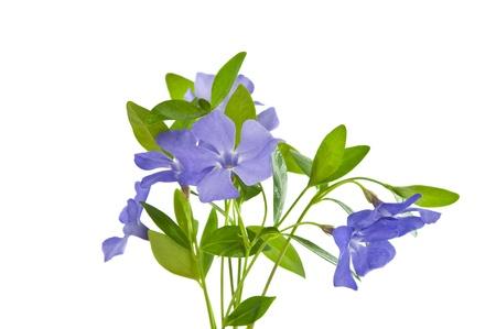 periwinkle isolated on white background Stock Photo - 16433250
