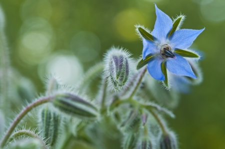 Blue borage, star flower in the garden