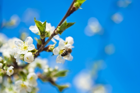 Blossoming branches of a tree against a blue sky photo