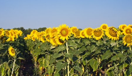 similar images preview: field of sunflowers on a background of blue sky Stock Photo