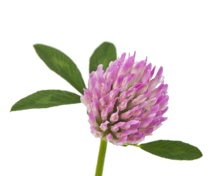 clover flowers isolated on white background Stock Photo - 16572152