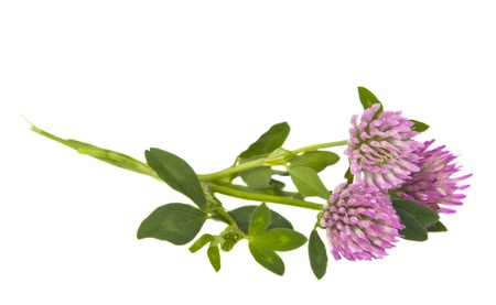 clover flowers isolated on white background Stock Photo - 16572146
