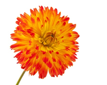 Beautiful dahlia flower isolated on white background. photo