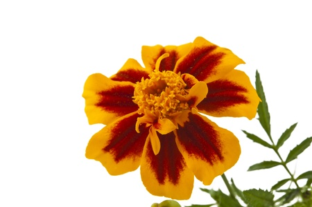 marigold isolated on white background photo