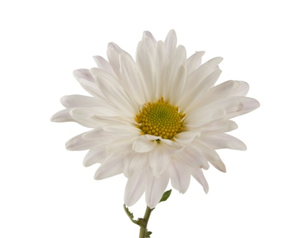 georgina: white chrysanthemum isolated on white background Stock Photo
