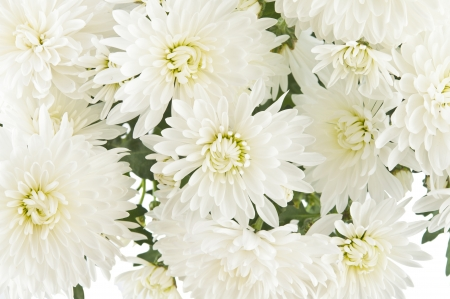 Very beautiful of white chrysanthemums photo