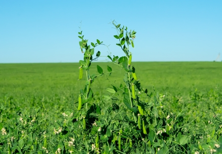 Peas growing in a field Stock Photo - 17672283