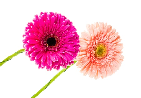 Two beautiful gerbera isolated on white background photo