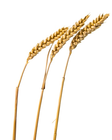 ears of wheat isolated on white background photo