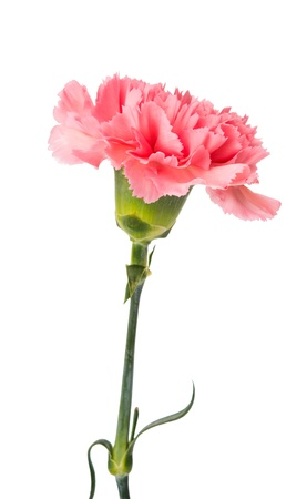 carnation isolated on white background Archivio Fotografico
