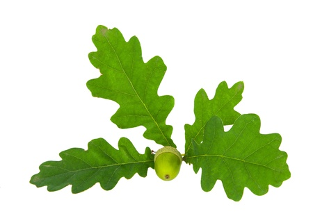 Oak branch with acorns isolated on a white background photo