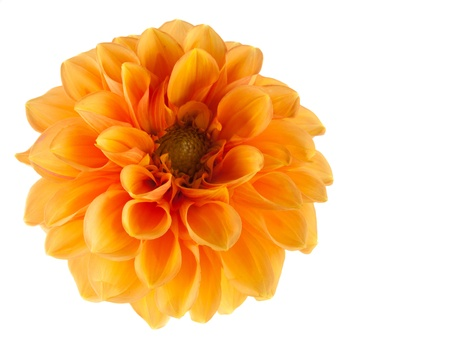 orange dahlia on white background photo