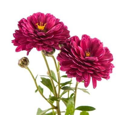 白の背景に菊の花