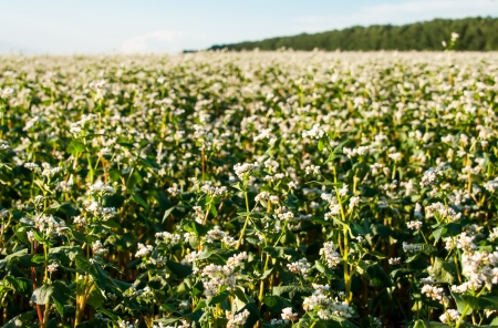 buckwheat field on blue sky background photo