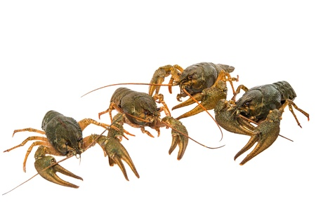 crayfish isolated on white background photo