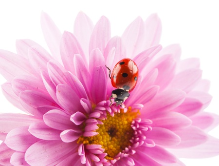 chrysanthemum flower with a ladybug on a white background