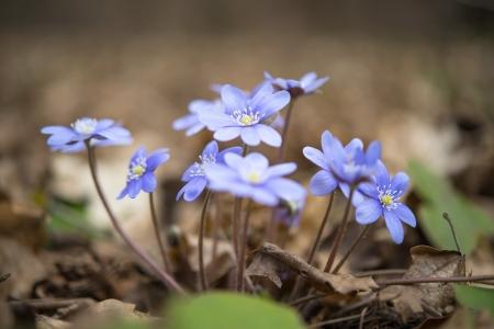hepatica: blooming in the spring forest Hepatica nobilis Stock Photo