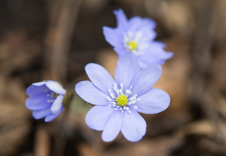 hepatica: blooming in the spring forest Hepatica nobilis Stock Photo