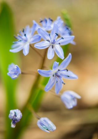 Siberian squill (Scilla siberica; wood squill) and Luciles Glory of the snow flowers