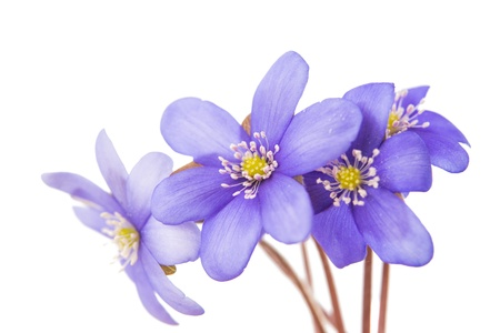 Hepatica nobilis on a white background photo