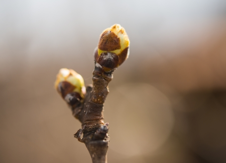 Spring bud / Springtime tree bud in its defocused environment Stock Photo - 19126615