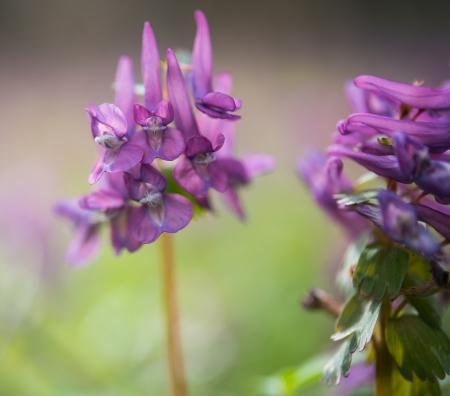 corydalis: Purple flower of Hollowroot in the spring, Corydalis cava