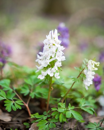 cava:  flower of Hollowroot in the spring, Corydalis cava