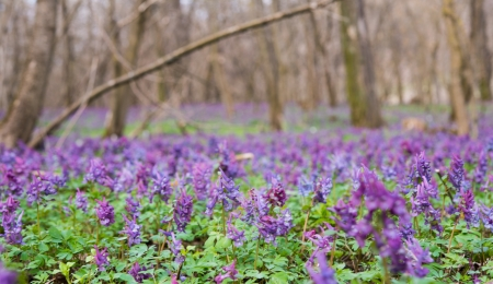 cava: Purple flower of Hollowroot in the spring, Corydalis cava