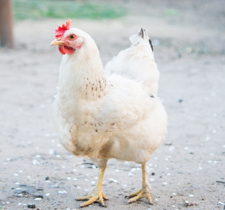 hens: Closeup portrait of a white chicken outdoor Stock Photo