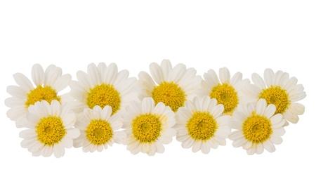 カモミールの花は白で隔離されます。