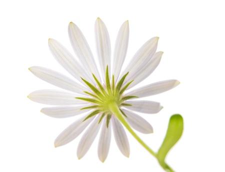 beautiful white daisy on a white background photo
