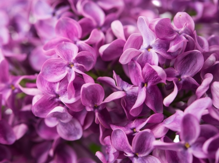 The beautiful lilac, background photo