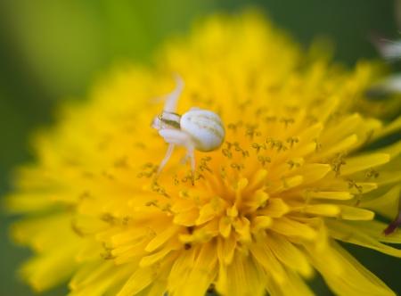 goldenrod crab spider: spider on a dandelion, close-up
