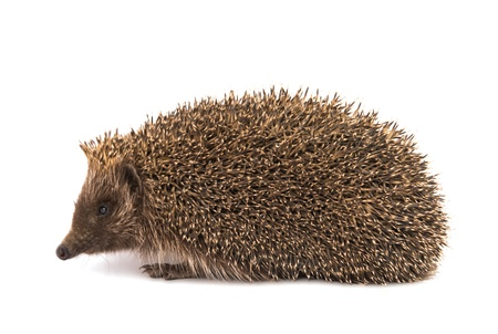 Hedgehog on a white background photo
