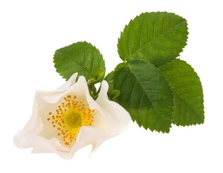 wild rose flower on a white background